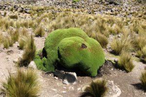 3000 évig is élhet az Andok örökzöld növénye a yareta